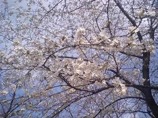 家の近所の桜。この木だけ満開でした。