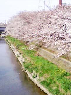 川沿いの桜ってきれいですよね