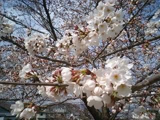 かなり咲いている木もありました