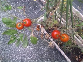 トマト★トマト