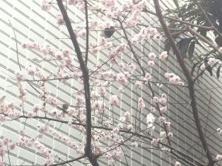 sakura20110315.jpg
